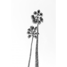 David + David Studio - Black/white Palm Trees 30 x 40