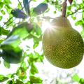 Hvað er þetta jackfruit eiginlega?