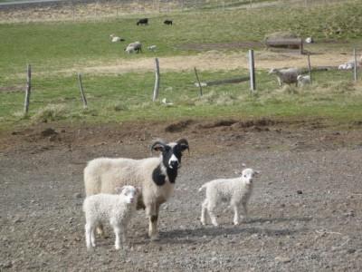 Sauðburður